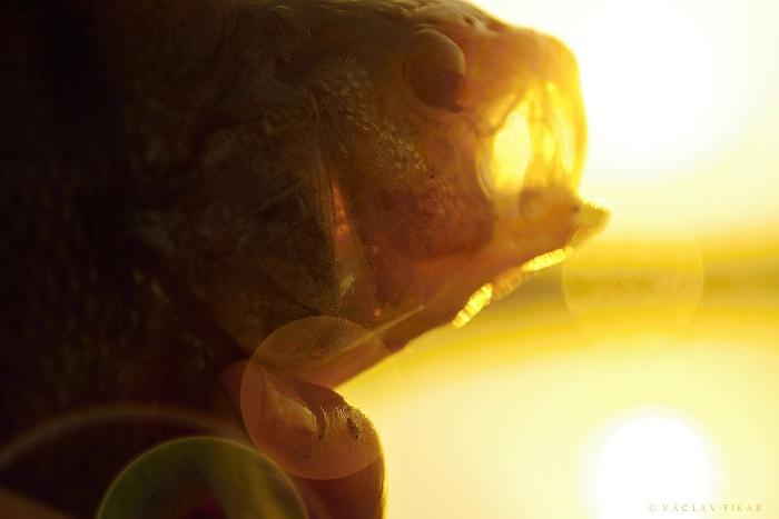 Okoun říční (2015, přehrada Jesenice, CZE)