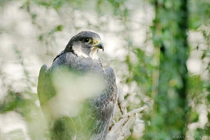 Sokol stěhovavý / Peregrine falcon