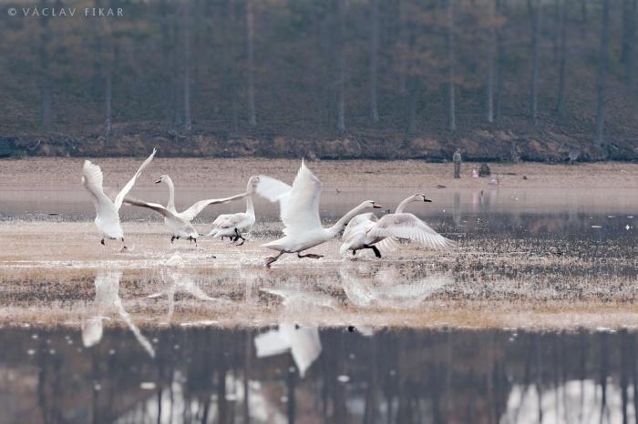 Křídla labutí
