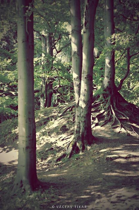 Mystické stromy Slavkovského lesa