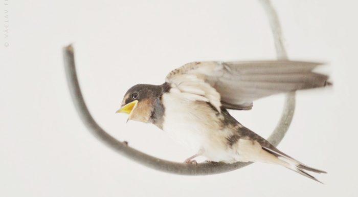 Vlaštovka z hnízda